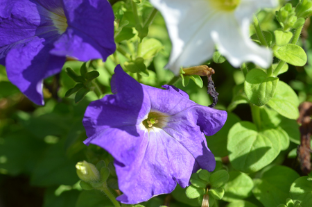 petunias: Petunias flowers