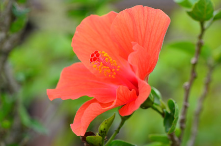 anther: Hibiscus Flower