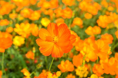 Orange Cosmos Flower in the garden Chiangmai Thailand