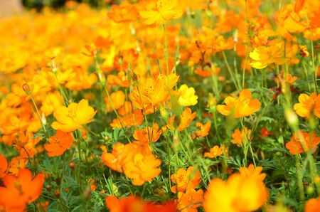 Orange Cosmos Flower in the garden Chiangmai Thailand