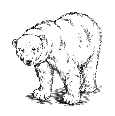 agressive: black and white engrave ink draw isolated vector polar bear Illustration