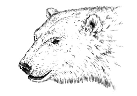 black and white engrave ink draw isolated vector polar bear Ilustracja