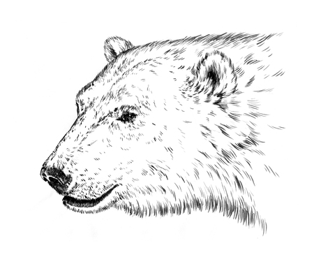 agressive: black and white engrave ink draw isolated polar bear