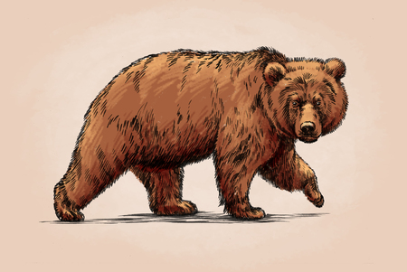 grizzly: couleur gravent encre dessin isol� ours grizzly Banque d'images