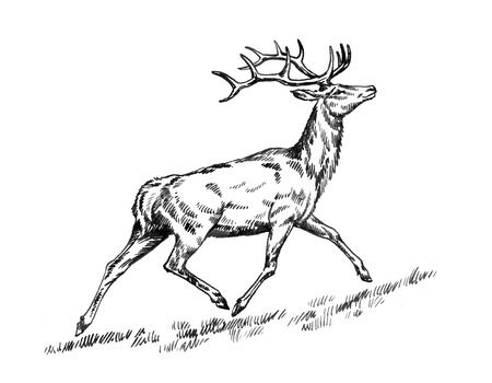 engrave: black and white brush painting ink draw isolated deer illustration