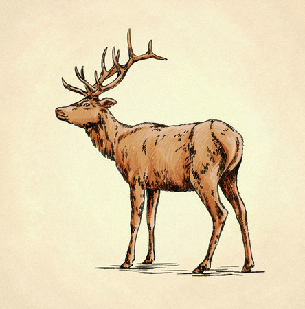 color brush painting ink draw isolated deer illustration