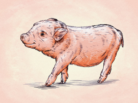 hoofed: color brush painting ink draw isolated pig illustration