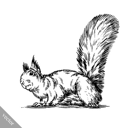 isolated squirrel: black and white engrave ink draw isolated squirrel illustration