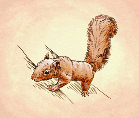 isolated squirrel: color engrave ink draw isolated squirrel illustration