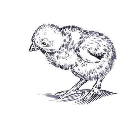 naturalistic: black and white engrave ink draw isolated chicken illustration