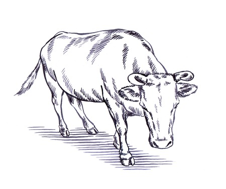 ruminant: black and white engrave ink draw cow illustration Stock Photo