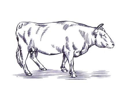 ink illustration: black and white engrave ink draw cow illustration Stock Photo