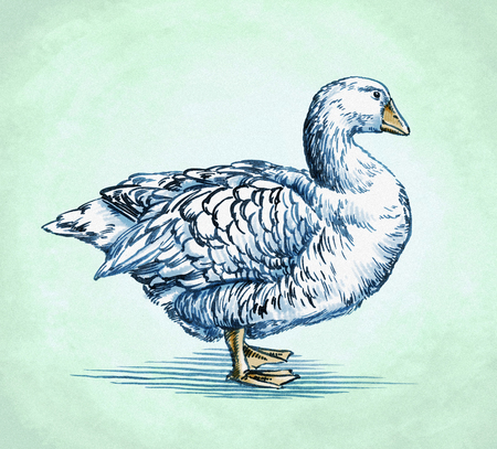 downy: color engrave ink draw isolated duck illustration