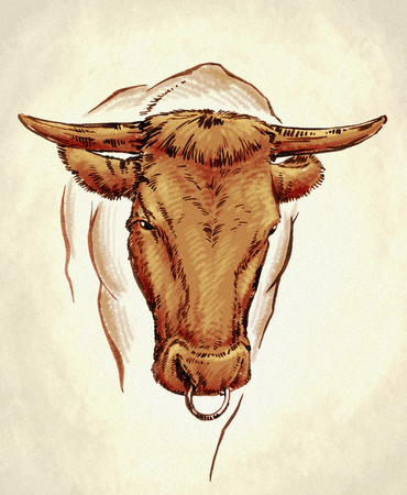 ruminant: color engrave ink hand draw cow illustration