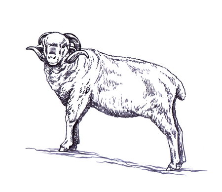 black and white engrave ink draw sheep illustration