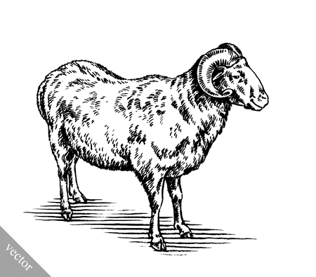 engraving: black and white engrave ink draw vector sheep illustration