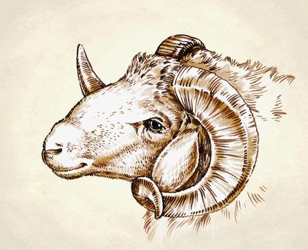 color engrave ink draw sheep detail illustration