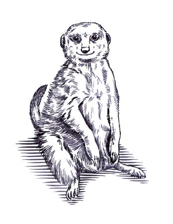meerkat: black and white engrave ink draw meerkat illustration