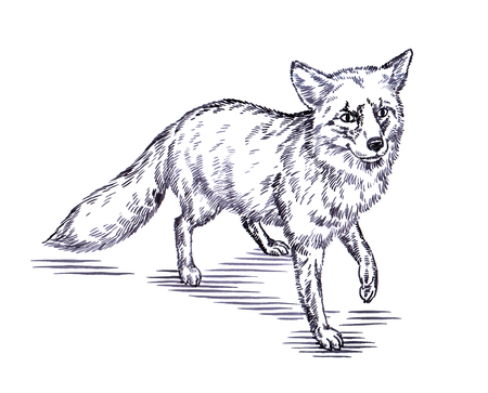 black fox: black and white engrave ink draw fox illustration Stock Photo
