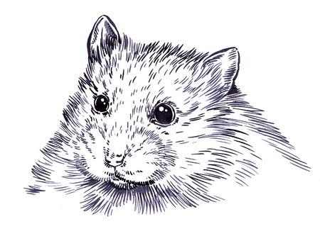 black and white engrave ink draw hamster illustration stock photo
