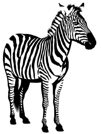 black and white linear paint draw zebra illustration Imagens - 73998269