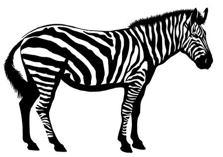 흑인과 백인 선형 페인트 무승부 얼룩말 그림 스톡 콘텐츠