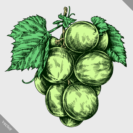 white wine: Engrave isolated grape berry hand drawn graphic illustration Illustration