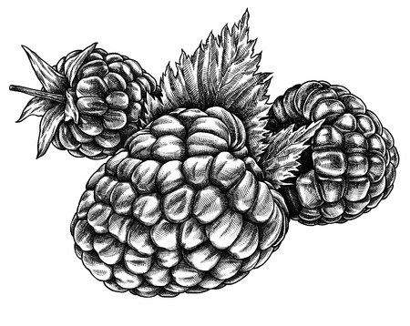 Engrave isolated raspberry hand drawn graphic illustration