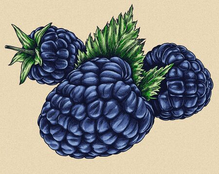 dewberry: Engrave isolated BlackBerry hand drawn graphic illustration Stock Photo