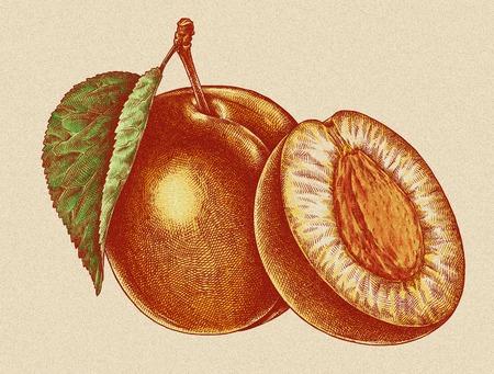 Engrave geïsoleerde abrikoos hand getekende grafische illustratie