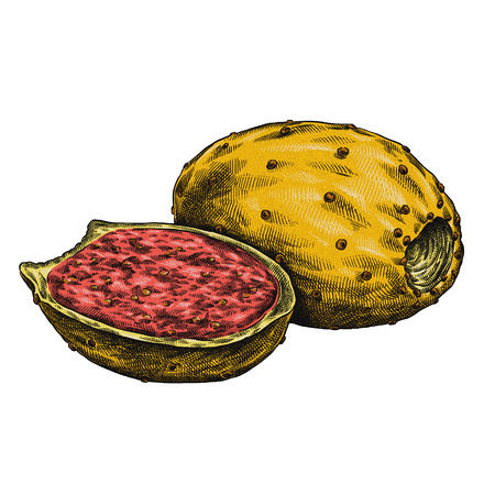 Engrave isolated prickly pear hand drawn graphic illustration Imagens