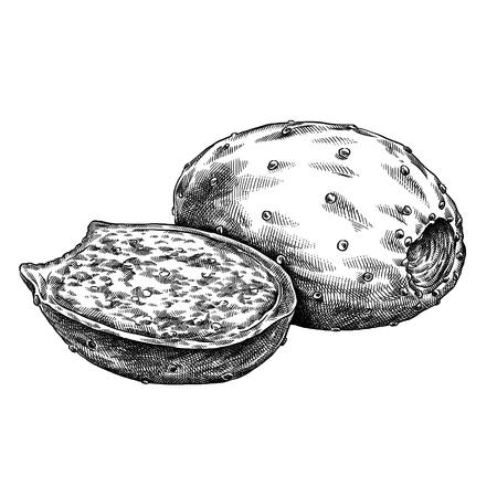 Engrave geïsoleerde stekelige peer hand getekende grafische illustratie Stockfoto