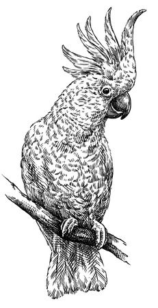 black and white engrave isolated parrot illustration Imagens - 96052633