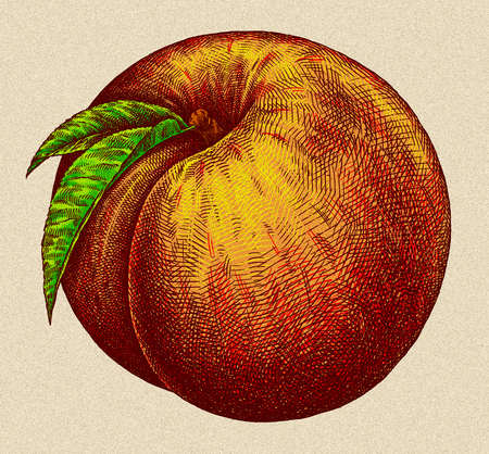 Engrave isolated peach hand drawn graphic art