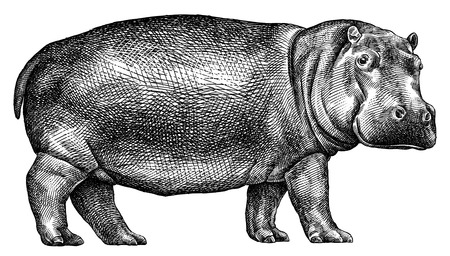 black and white engrave isolated hippo illustration Imagens - 122310592