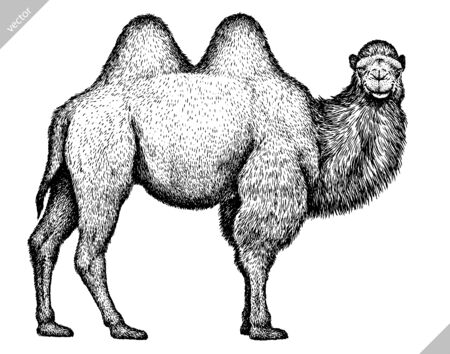 black and white engrave isolated camel illustration Stock Illustratie