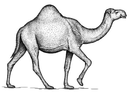 black and white engrave isolated camel art Banco de Imagens