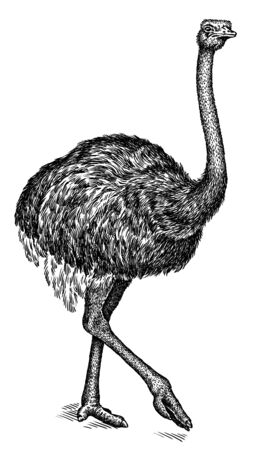 black and white engrave isolated ostrich art Banco de Imagens