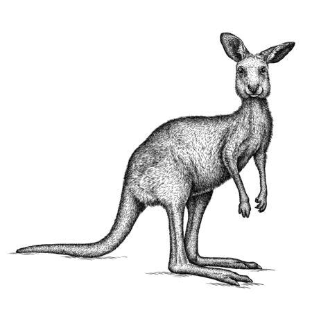 noir et blanc graver illustration de kangourou isolé