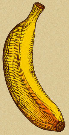 Engrave isolated banana hand drawn graphic illustration Imagens