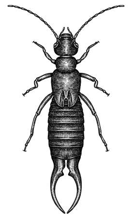 Engrave isolated Diplura hand drawn graphic illustration