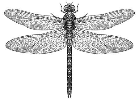 Engrave isolated dragonfly hand drawn graphic illustration Standard-Bild