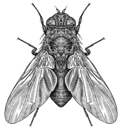 Engrave isolated fly hand drawn graphic illustration Standard-Bild