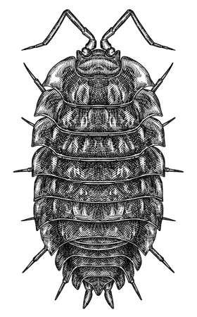 Engrave isolated woodlouse hand drawn graphic illustration 版權商用圖片