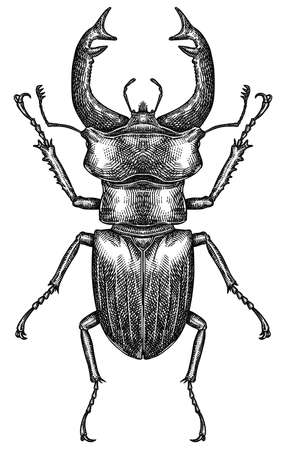 Engrave isolated stag beetle hand drawn graphic illustration 版權商用圖片