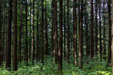 Hintergrund der Zedernbäume.