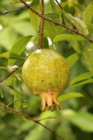 Reife Granatapfel auf dem Zweig, Das Laub auf dem Hintergrund