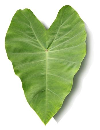 Colocasia esculenta leaves Stock Photo