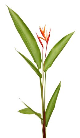 Beautiful Heliconia flower blooming in vivid colors on white background with clipping path included  Stock Photo