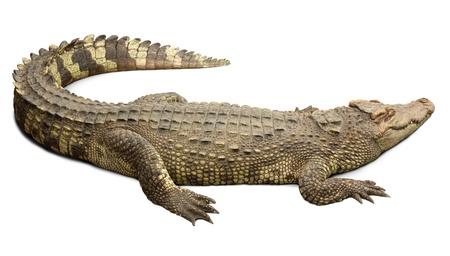Crocodile on white background  Stock Photo